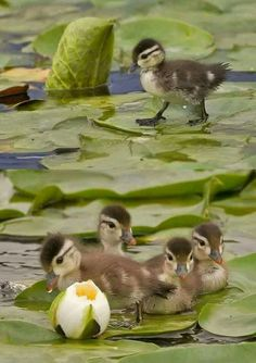 Ducks on the Lotus plants
