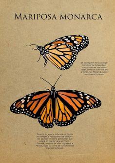 IL·LUSTRACIÈNCIA: Mariposa Monarca - Sarah Patrica Rondán Bustos