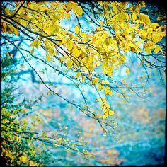 Items similar to Autumn Photography - Fall Foliage - Home Decor - Wall Art - Blue and Yellow - Decorative Photo on Etsy