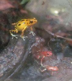 Female bastimentos pumilio dart frog with two froglets through dirty glass. Photo by Rachel Jensen.