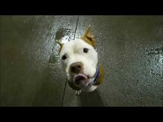 1/8/17 STILL THERE - STILL SEARCHING FOR HIS OWNER!! Brooklyn Center My name is TYE. My Animal ID # is A1100493. I am a male brown and white am pit bull ter mix. The shelter thinks I am about 3 YEARS old. I came in the shelter as a STRAY on 12/26/2016 from NY 11368, owner surrender reason stated was STRAY http://nycdogs.urgentpodr.org/tye-a1100493/