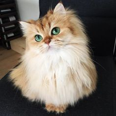Is this the most beautiful cat in the world?