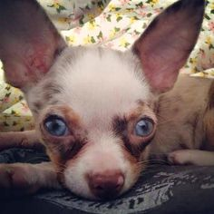 A Chihuahua dog site with grooming, training, health tips, chihuahua stories and more. Merle Chihuahua, Chihuahua Dogs, Puppies, Chihuahuas, Maria Martin, Cute Cats And Dogs, Blue Merle, Dog Life, Small Dogs