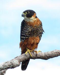 Foto falcão-de-peito-laranja (Falco deiroleucus) por Danilo Mota   Wiki Aves - A Enciclopédia das Aves do Brasil