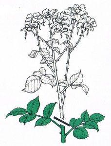 rozen snoeien Lush, Flowers, Google Play, Chinese, Apps, Gardening, Blog, Ideas, Lawn