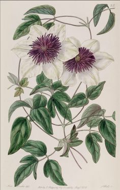 Botanical illustration dated May 1838 of Clematis Florida.