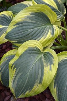 "Hosta 'Rosedale Misty Pathways' 19"" high 40"" wide Dark green center with a wide orangey gold margin; thick substance; near white to very pale lavendar flower in July on 30"" scapes. Very attractive Hosta!"