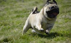 Kulka the Pug: we are looking forward to the summer...