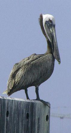 Gulf Coast Pelican