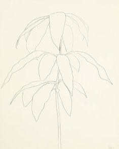 American painter, sculptor and printmaker Ellsworth Kelly may be best known for his vibrant, colorful abstract paintings but his plant drawings are equally noteworthy and beautiful. Delicate and incredibly accurate, Kelly's drawings of flowers… Ellsworth Kelly, Plant Drawing, Painting & Drawing, Botanical Illustration, Illustration Art, Botanical Drawings, Leaf Art, Art Sketchbook, Art Drawings