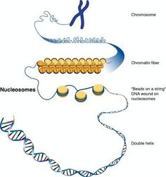 A nucleosome is the basic repeating unit of eukaryotic chromatin. In a human cell, about six feet of DNA must be packaged into a nucleus with a diameter less than a human hair. A single nucleosome consists of about 150 base pairs of DNA sequence wrapped around a core of histone proteins. The nucleosomes are arranged like beads on a string. They are repeatedly folded in on themselves to form a chromosome.