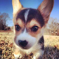 Why? | Don't Be Sad, Look At These Corgi Puppies: Corgis, Cuteness, Dogs, Adorable Animals, Pet, Corgi Puppies, Puppys, Box