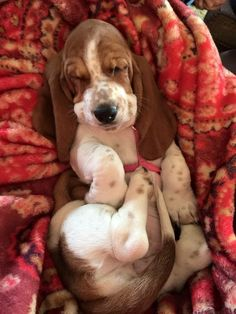 Are you looking for Basset Hound dog names? Here is a collection of funny and cute Basset Hound male/female dog name ideas. Basset Puppies, Hound Puppies, Basset Hound Puppy, Beagles, Boxer Dogs, Puppies And Kitties, Cute Puppies, Cute Dogs, Doggies