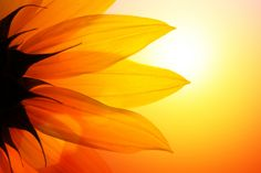 Orange sunflower at sunset