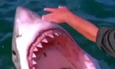 'Widdle sharkiepoo': The heart-stopping moment a sailor PATS a shark like it's a cat as the beast brandishes rows of sharp teeth   Read more: http://www.dailymail.co.uk/news/article-4352716/Widdle-sharkiepoo-Sailor-filmed-stroking-shark.html#ixzz4dG5qPFle  Follow us: @MailOnline on Twitter | DailyMail on Facebook