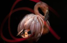 flamingo beautiful black isolated background abstract