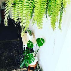 🍀M Y  H O M E🍀 Quando era adolescente odiava plantas vivas, minha mãe me obrigada a cuidar, molhar, tirar folhas velhas etc...hoje eu amo meus cantinhos verdes em casa, tenho vários e a cada dia mais apaixonada. Tks Mamy . . . #green #greenery #myhome #house #scandinaviandesign #live #scandinavian #garden #followforfollow #monstera #costela #plantas #plant #love #home #homedecor #decoration #decor #scandinavian #designdeinteriores #interior123 #apartment #meuape #minhacasa #parceria #wood…