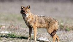 Kangaroo, Fox, Animals, Baby Bjorn, Animales, Animaux, Animal, Animais, Foxes