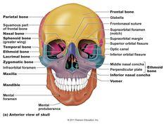 bones in the skull | frontal bones 1 pareital bones 2 temporal, Human Body