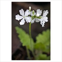 GAP Photos - Garden & Plant Picture Library - Primula sieboldii 'White Wings' - GAP Photos - Specialising in horticultural photography