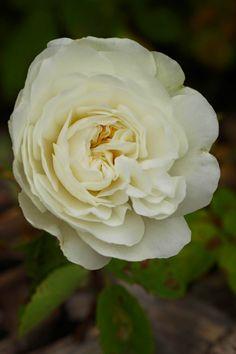Ruusunmekko - Ruusut: Muut ruusuaarteet - 'Mme Plantier'
