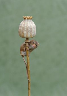 These lovable pictures are a mouse-terclass in nature photography as harvest mice frolic in the flowers || Image Source: https://www.thesun.co.uk/wp-content/uploads/2017/06/nintchdbpict000332915087.jpg?strip=all&w=672&quality=100