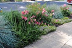 Blue Fescue (?) inter-planted with landscape roses