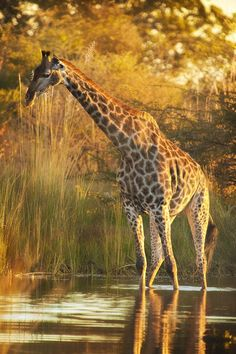 A Giraffe crossing a flooded area in Moremi Game Reserve in the heart of the Okavango Delta in Botswana.  ~  by Mario Moreno on 500px