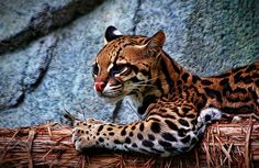 Ocelot Painted. Digital art by Judy Vincent. cats, animals, wildlife, clutch, gifts, purse.
