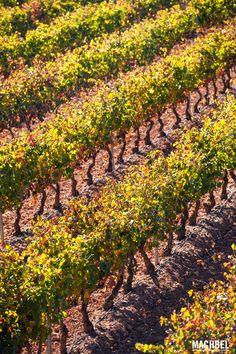 Filas de viñedos Viñedos en otoño La Rioja España by machbel