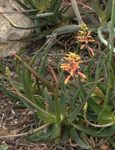 Aloe forbesii  http://succulent-plant.com/families/aloaceae/aloe/p1020728.jpg