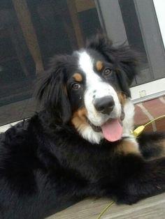 Baby Travis. My male Bernese Mountain Dog