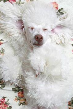 Angelic poodle :)    Awwwww....so sweet!    #poodle #angel