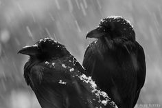 Winter ravens. Photo by: Mike Reeves