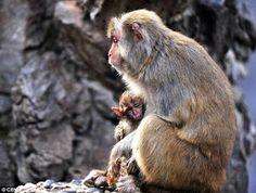 """""""O Grito do Bicho"""": Macaca inconformada continua cuidando de filhote m..."""