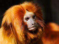 See a Golden-Headed Lion Tamarin in the Wild - TripBucket Golden Lion Tamarin, Golden Lions, Weird Creatures, All Gods Creatures, Elmwood Park Zoo, Dian Fossey, Three Toed Sloth, Majestic Animals, Beast