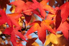 Liquidambar styraciflua herfstblad