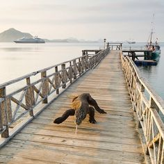 A large komodo dragons walking on the jetty. Outtake from the story on this fascinating reptile shoot on assignment for @natgeo in the January issue. #komodoisland #Indonesia. Photo by @stefanounterthiner