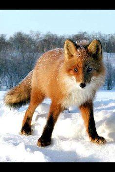 Red Fox.....