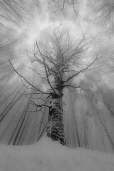 Towering tree in the snow