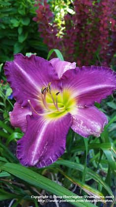 """Daylily 'Russian Ragtime"""" in my garden 2015"""