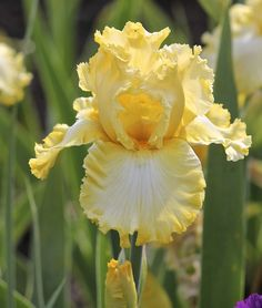 TB Iris germanica 'Just A Kiss Away' (Baumunk, 2008)