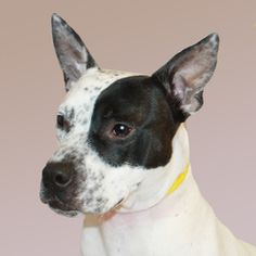 0240 / B.D. is an adoptable Jack Russell Terrier Dog in Painesville, OH. ID 0240 - B.D. is a male Bulldog mix. He is 1 year old, 33 pounds. This dog must go to a home that will work regularly on train...