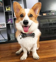 Who has 4 stumps no cone and looks fly AF in a bow tie? This corg!! Vet cleared me to play again. Stained my eye to make sure I fully healed which I did. They took the cone off and I capitalized my freedom by exiting the room running into the lobby and jumping onto mom's lap.  The first thing I HAVE to do is see my girlfriend @zoeycorgneliafluffybottom. We are meeting at the park later  #torothecorgi