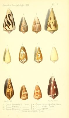 t 13 (1865) - Journal de conchyliologie. - Biodiversity Heritage Library