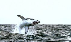 EPIC breach at Seal Island! www.sharkexplorers.com