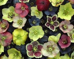 Helleborus are available for Scottish brides in February. Contact The Stockbridge Flower Company for more details.