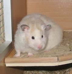 Sable Dominant Spot lh hamster (eeUu - ll)