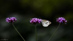 Three Flower and Butterfly by shimazu.motohisa