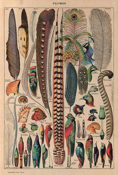 'Plumes' illustrated by Adolphe Philippe Millot from 'Le Larousse pour tous: Nouveau dictionnaire enyclopèdique, vol. 2, Librairie Larousse, Paris, [1907-1910], p. 465.